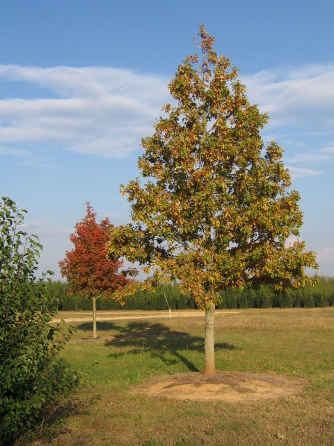 Ruby Spring® Nuttall Oak Fall Habit