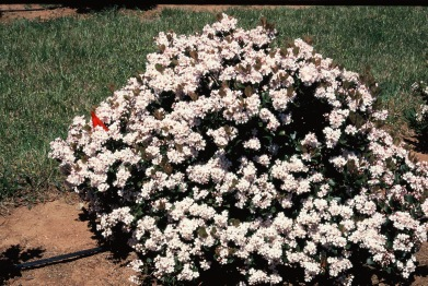 Snowcap® Indian Hawthorn Flowering Habit