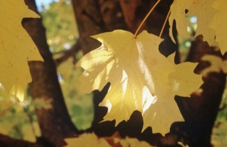 Steeple® Sugar Maple Fall Foliage