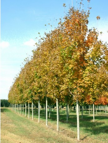 Steeple® Sugar Maple Fall Rows