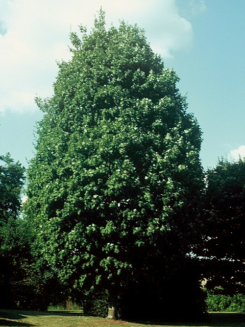 Steeple® Sugar Maple Habit