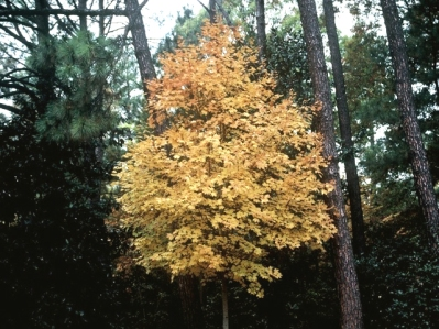 Steeple® Sugar Maple Fall Habit