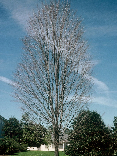 Steeple® Sugar Maple Winter Habit