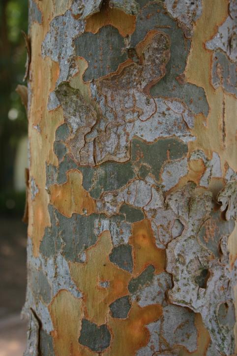 Everclear® Lacebark Elm Bark