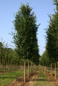 Everclear® Lacebark Elm Rows