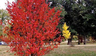 Green Gable™ Fall Color