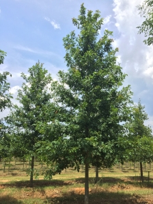 Ruby Spring® Nuttall Oak Habit