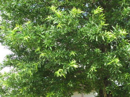 Kingpin® Willow Oak Summer Foliage