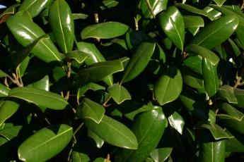 Greenback™ Magnolia Foliage
