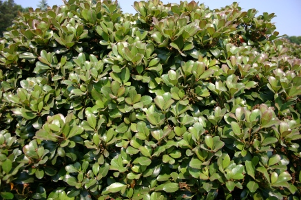 Snowcap® Indian Hawthorn Foliage