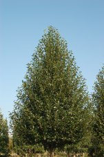 Green Gable™ Foliage