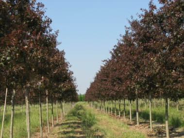 Ruby Spring® Nuttall Oak Spring Growth
