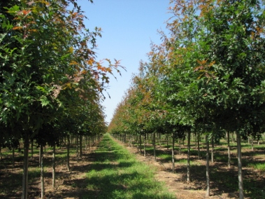 Ruby Spring® Nuttall Oak Rows