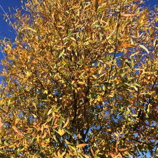 Kingpin® Willow Oak Fall Color