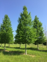 Kingpin® Willow Oak Habit