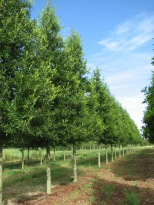 Kingpin® Willow Oak Rows