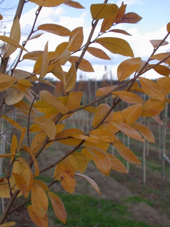 Everclear® Lacebark Elm Fall Foliage